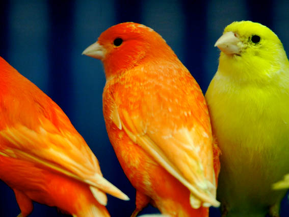 Birds orange yellow
